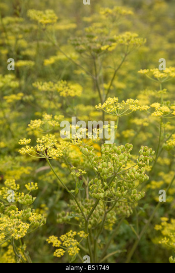 wild parsnip Pastinaca sativa - Stock Image