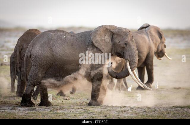 African Elephant Amboseli National Park Kenya - Stock Image