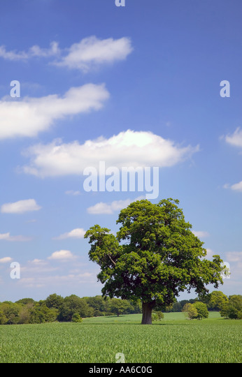 Oak tree in a field with a blue cloudy sky taken in a field in Hampshire, England. - Stock Image