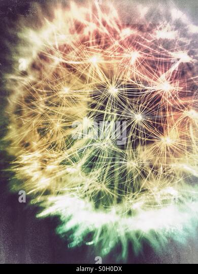 Close up macro photograph of a dandelion seed head. - Stock Image