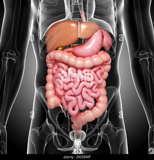 Male digestive system, artwork - Stock Image
