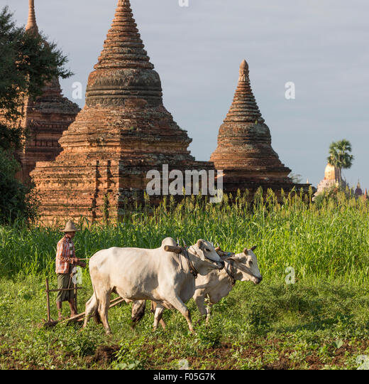 Man plowing field with ox drawn plow near Raya Nga Zu Paya (Pagoda), Bagan, Mandalay - Stock Image