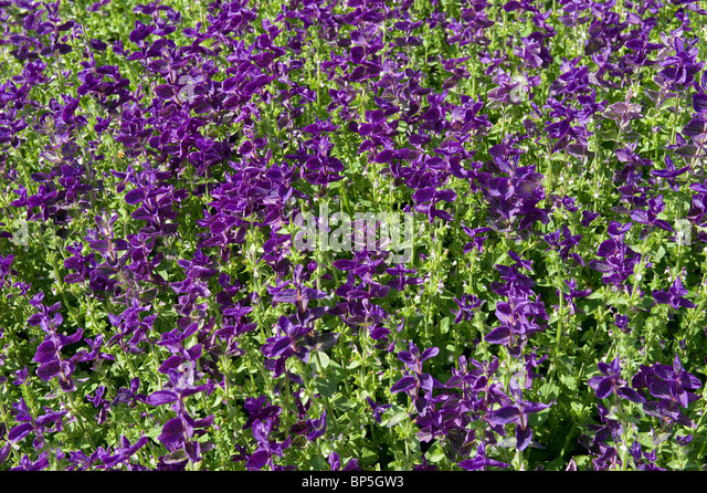 purple salvia flowers in english cottage garden - Stock-Bilder