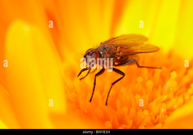 Fly on Marigold flower. Diptera. - Stock Image