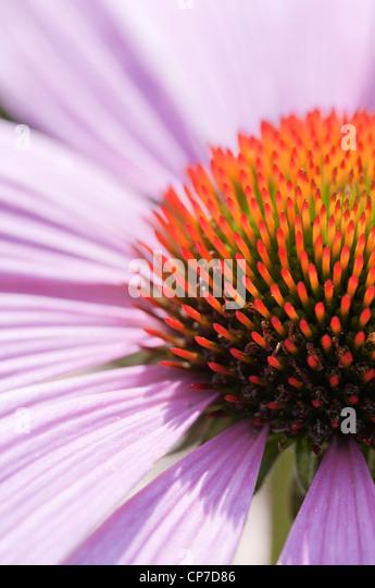 Echinacea purpurea 'Magnus', Echinacea, Purple coneflower, . - Stock Image