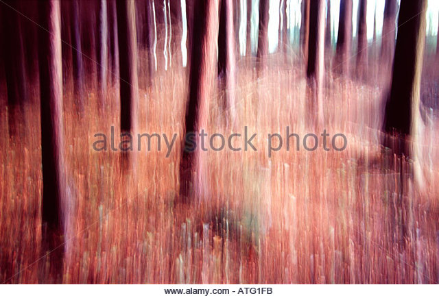 Dancing pine trunks, Tollymore Forest, Co Down, Ireland - Stock-Bilder