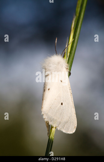 Muslin Moth (Diaphora mendica) adult female resting on a grass stalk. Pyrénées-Orientales, France. - Stock Image