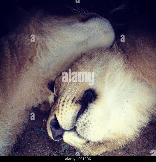 Lion cubs - Stock Image
