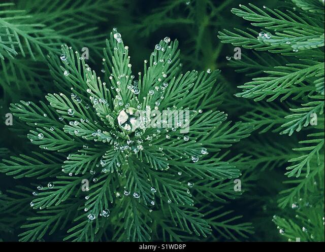 Drops of dew on green snowflake-shaped plant - Stock Image