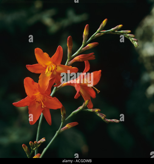 Single flower spike of orange Crocosmia Geoffrey Howard - Stock Image