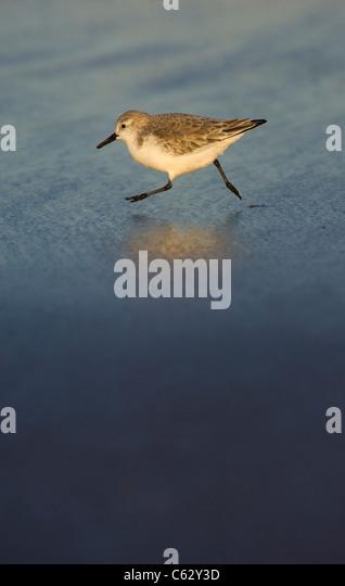 SANDERLING Calidris alba An adult running along the tide line in golden evening light Lincolnshire, UK - Stock-Bilder