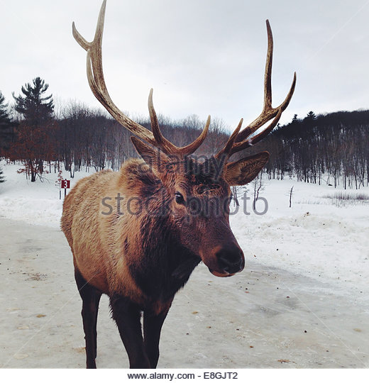 Canada, Quebec, Montebello, Portrait of reindeer in winter - Stock Image