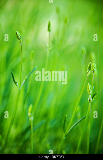 green grass field background with selective focus - Stock Image