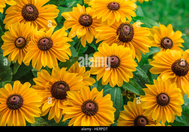 Grouping of Black Eyed Susans in a garden. - Stock Image