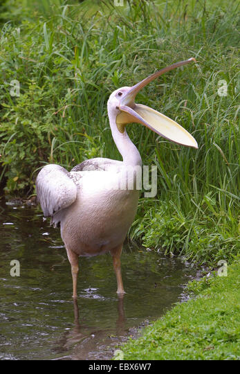 eastern white pelican (Pelecanus onocrotalus), standing in shallow water with the beak wide open - Stock Image