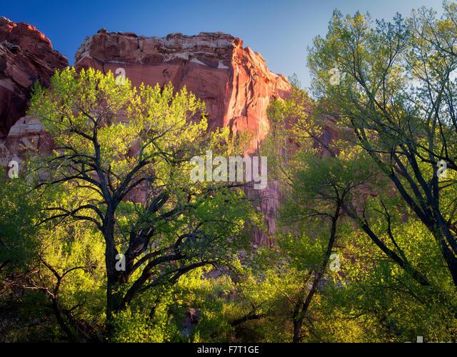 Cottonwood trees and rock formations. Fruita, Capitol Reef National Park, Utah - Stock Image