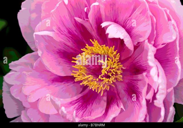 PAEONIA AKASHIGATA PEONY POSTERISED - Stock Image