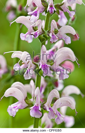 sage Salvia Eveline summer flower two-tone free-flowering aromatic foliage leaf pink violet lilac herb May garden - Stock Image