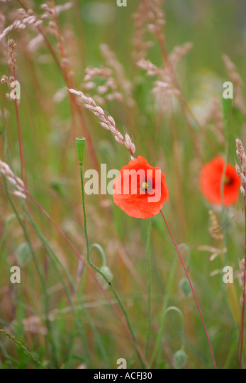 Poppy Scotland Stock Photos Amp Poppy Scotland Stock Images