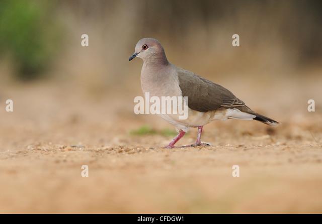 White-tipped Dove (Leptotila verreauxi) - Santa Clara Ranch, Texas, United States of America - Stock Image