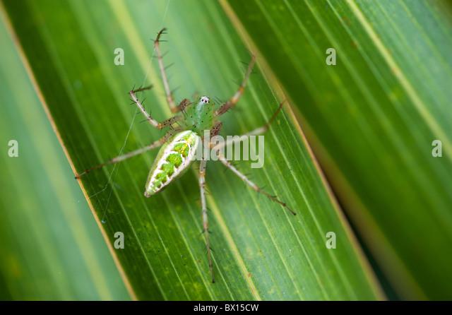 Green Lynx spider on a leaf in India - Stock-Bilder