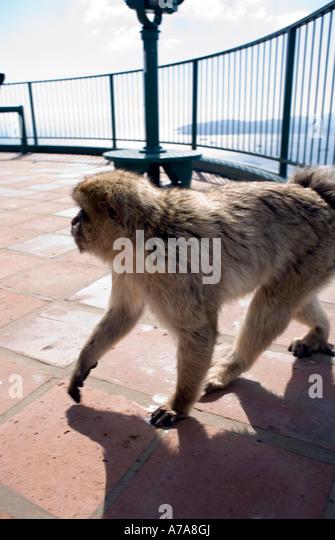 Gibraltar ape (Macaca sylvanus L) - Stock Image