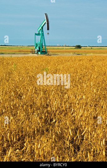 Agriculture - Field of harvest ready dry peas with an oil well pumpjack in the background / near Arcola, Saskatchewan, - Stock Image