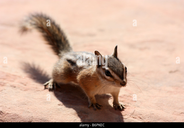 Chipmunk at Scouts Lookout near Angel's Landing, Zion National Park - Stock Image