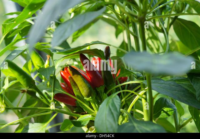 Romanian chili pepper on a plant, swedish name Rumänsk chili, capsicum annuum - Stock Image