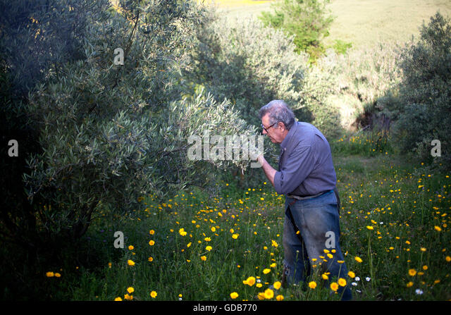Organic farmer Diego Sanchez checks the olive orchard in  his organic farm in Prado del Rey, Cadiz, Andalusia, Spain, - Stock Image