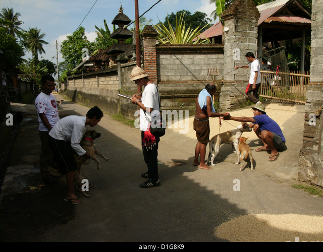 Bali Animal Welfare Association (BAWA) team members at work vaccinating dogs against rabies in Gianyar Regency, - Stock Image