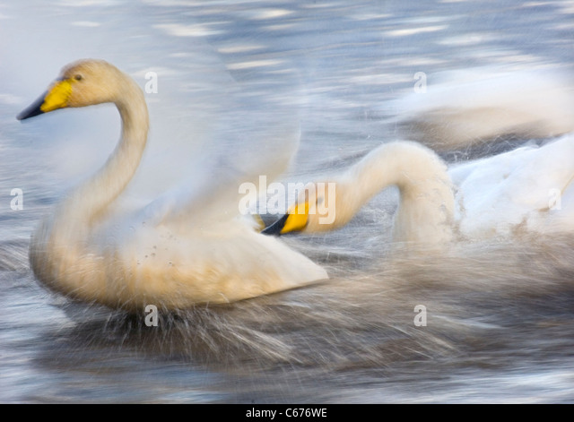 WHOOPER SWAN Cygnus cygnus An adult aggressively pursuing another (blurred to illustrate movement)Lancashire, UK - Stock-Bilder