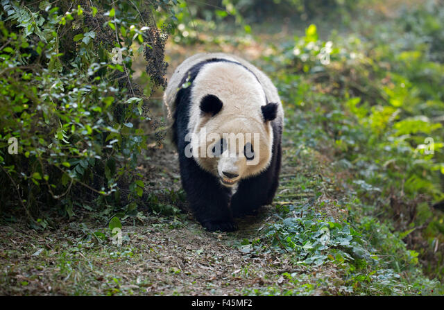 Giant Panda (Ailuropoda melanoleuca) adult walking along track. Chengdu, China. Taken under controlled conditions - Stock Image