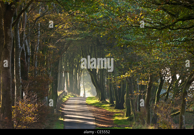 Autumnal tree lined lane, Dartmoor, Devon, England. Autumn (October) 2011. - Stock Image