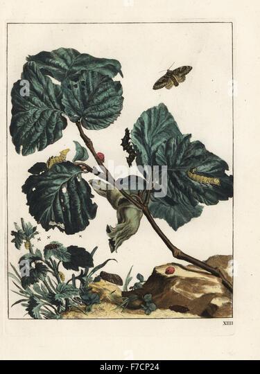 Tawny prominent, Harpyia milhauseri, seven-spot ladybird, Coccinella septempunctata and fruit flies on a hazel tree, - Stock Image
