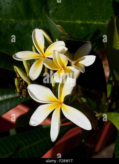 Plumeria inflorescence variety Lanai Sunray - Stock Image