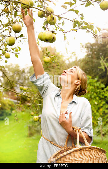 Woman in Orchard Picking Apples - Stock Image