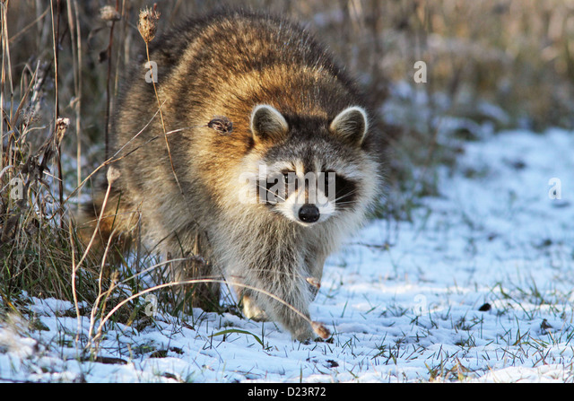 North American raccoon in winter - Stock Image