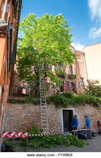 Tree surgery, Dorsoduro Venice, Italy, April - Stock-Bilder