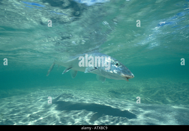 Bonefish underwater Fishing Florida Bahamas Tropics Caribbean - Stock Image