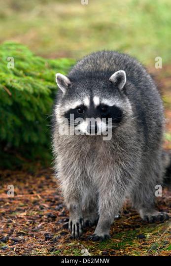 Raccoon at Shelton, Washington, USA. - Stock Image
