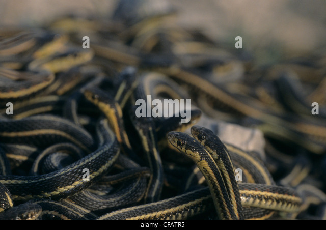 Mating ball of Red-sided garter snakes in spring coming out of hibernation near Inwood, Manitoba, Canada - Stock Image