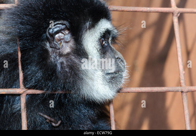 Face and eyes downcast of White-handed gibbon (Hylobates lar) in a cage. The problem of illegal wildlife trade - Stock Image