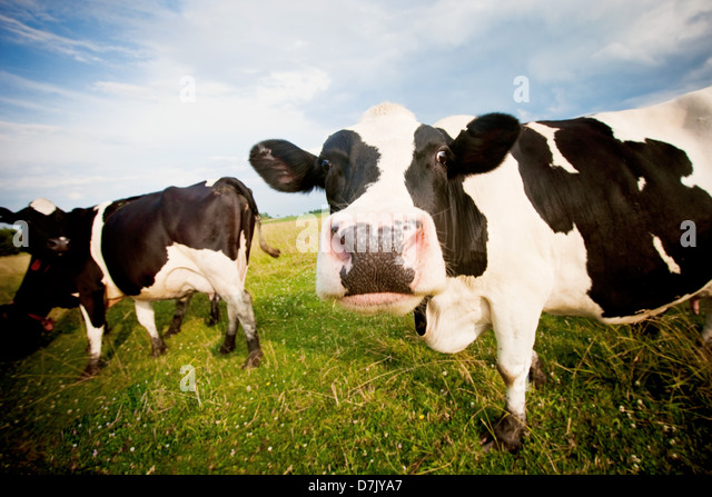 Cows in pasture one staring to camera in comical fashion - Stock Image