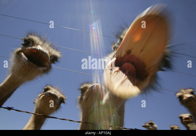 Ostriches near Oudtshoorn, West Cape, South Africa - Stock-Bilder