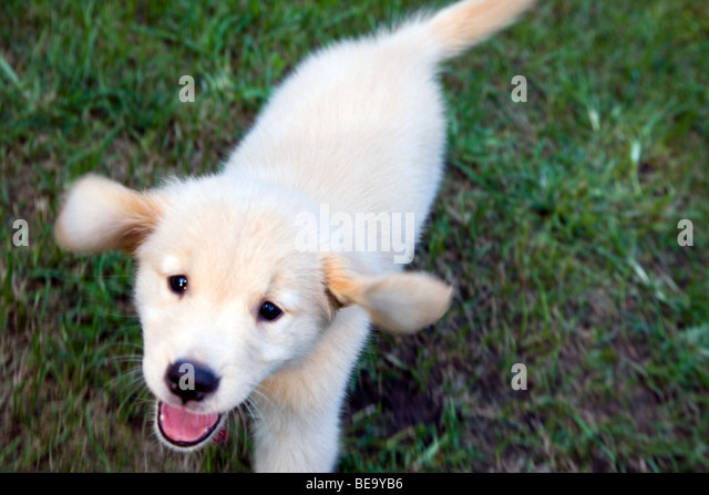 Eight week old Golden Retriever puppy running on the grass. - Stock Image
