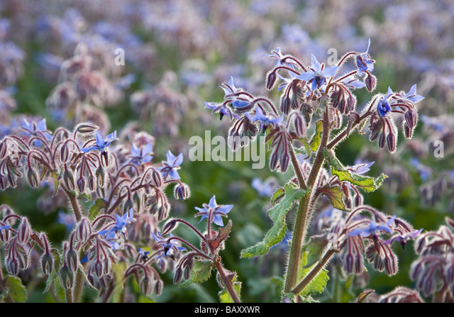 A field of borage at sunset - Stock Image