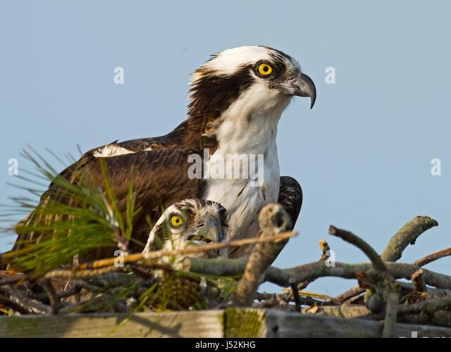 Osprey Pair in Nest - Stock Image