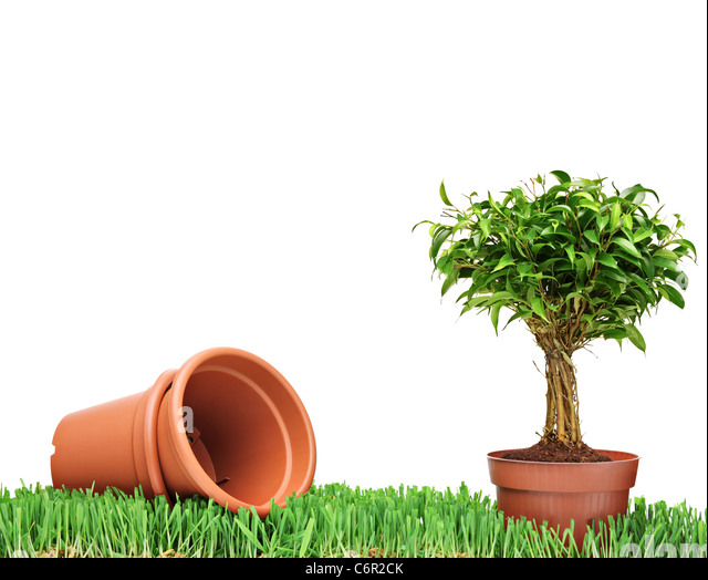 A studio shot of empty flower pots and a Ficus Benjamin on a green grass - Stock Image