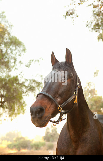 Low angle close up of brown horse - Stock Image
